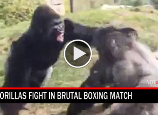 gorillas fight